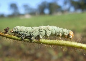 Helicoverpa infected by Beauvaria fungus