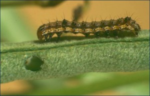 Medium larvae of H.armigera
