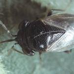 bigeye bug