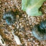 cutworm and damage2