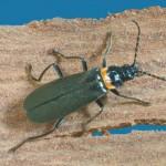 Green soldier beetle
