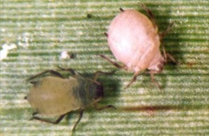 corn aphid and mummy