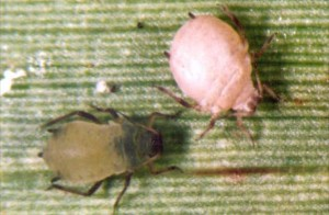Healthy aphid (l) and Parasitised aphid 'mummy' (r)