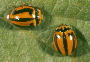 Striped ladybirds predate on aphids and other small insect pests