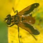 Trichopoda